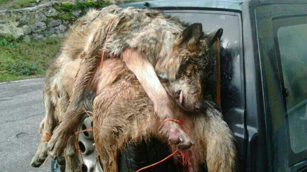 Las Batidas De Lobos En Asturias Acaban Ante Los Tribunales