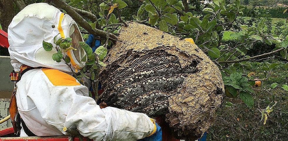 Un operario retira un nido de avispa asiática